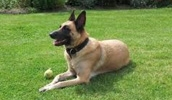 Бельгийская овчарка малинуа описание породы, фото, характеристика, клички для собак, цена щенков, гипоаллергенный: нет