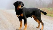 Смоландская гончая описание породы, фото, характеристика, клички для собак, цена щенков, гипоаллергенный: нет