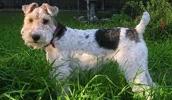 Жесткошёрстный фокстерьер описание породы, фото, характеристика, клички для собак, цена щенков, гипоаллергенный: да