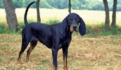 Американская черно-подпалая енотовая гончая описание породы, фото, характеристика, клички для собак, цена щенков, гипоаллергенный: нет