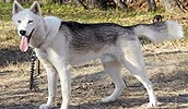 Сеппальская Сибирская ездовая собака описание породы, фото, характеристика, клички для собак, цена щенков, гипоаллергенный: нет