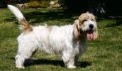 Малый вандейский бассет-гриффон описание породы, фото, характеристика, клички для собак, цена щенков, гипоаллергенный: нет