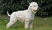 Ирландский мягкошерстный пшеничный терьер описание породы, фото, характеристика, клички для собак, цена щенков, гипоаллергенный: да