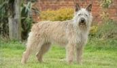 Арденский бувье описание породы, фото, характеристика, клички для собак, цена щенков, гипоаллергенный: нет