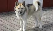 Гренландская собака описание породы, фото, характеристика, клички для собак, цена щенков, гипоаллергенный: нет