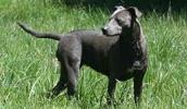 Блю-лейси описание породы, фото, характеристика, клички для собак, цена щенков, гипоаллергенный: нет