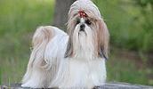 Ши-тцу описание породы, фото, характеристика, клички для собак, цена щенков, гипоаллергенный: да