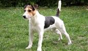 Парсон Рассел терьер описание породы, фото, характеристика, клички для собак, цена щенков, гипоаллергенный: нет