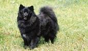 Шведский Lapphund описание породы, фото, характеристика, клички для собак, цена щенков, гипоаллергенный: нет