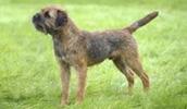 Бордер терьер описание породы, фото, характеристика, клички для собак, цена щенков, гипоаллергенный: да