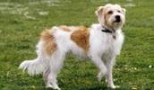Кромфорлендер описание породы, фото, характеристика, клички для собак, цена щенков, гипоаллергенный: нет