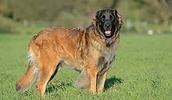 Леонбергер описание породы, фото, характеристика, клички для собак, цена щенков, гипоаллергенный: нет