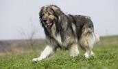 Румынская карпатская овчарка описание породы, фото, характеристика, клички для собак, цена щенков, гипоаллергенный: нет