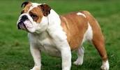 Австралийский бульдог описание породы, фото, характеристика, клички для собак, цена щенков, гипоаллергенный: нет