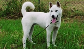 Кису описание породы, фото, характеристика, клички для собак, цена щенков, гипоаллергенный: нет