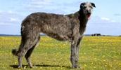 Шотландский дирхаунд описание породы, фото, характеристика, клички для собак, цена щенков, гипоаллергенный: нет