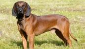 Баварская горная гончая описание породы, фото, характеристика, клички для собак, цена щенков, гипоаллергенный: нет