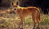 Динго описание породы, фото, характеристика, клички для собак, цена щенков, гипоаллергенный: нет
