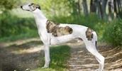 Грейхаунд описание породы, фото, характеристика, клички для собак, цена щенков, гипоаллергенный: нет