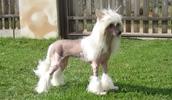 Китайская хохлатая собака описание породы, фото, характеристика, клички для собак, цена щенков, гипоаллергенный: да