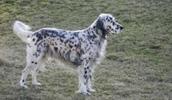 Английский сеттер описание породы, фото, характеристика, клички для собак, цена щенков, гипоаллергенный: нет