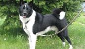 Карельская медвежья собака описание породы, фото, характеристика, клички для собак, цена щенков, гипоаллергенный: нет