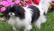 Японский хин описание породы, фото, характеристика, клички для собак, цена щенков, гипоаллергенный: нет