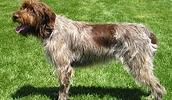 Гриффон кортальса описание породы, фото, характеристика, клички для собак, цена щенков, гипоаллергенный: да