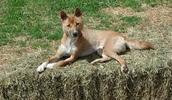 Новогвинейская поющая собака описание породы, фото, характеристика, клички для собак, цена щенков, гипоаллергенный: нет