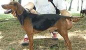 Сербская гончая описание породы, фото, характеристика, клички для собак, цена щенков, гипоаллергенный: нет