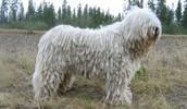 Комондор описание породы, фото, характеристика, клички для собак, цена щенков, гипоаллергенный: нет