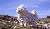 Пули описание породы, фото, характеристика, клички для собак, цена щенков, гипоаллергенный: да