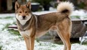 Сикоку описание породы, фото, характеристика, клички для собак, цена щенков, гипоаллергенный: нет