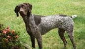 Курцхаар описание породы, фото, характеристика, клички для собак, цена щенков, гипоаллергенный: нет