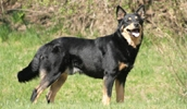 Лапландская пастушья собака описание породы, фото, характеристика, клички для собак, цена щенков, гипоаллергенный: нет