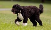 Португальская водяная собака описание породы, фото, характеристика, клички для собак, цена щенков, гипоаллергенный: да