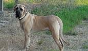 Американский мастиф описание породы, фото, характеристика, клички для собак, цена щенков, гипоаллергенный: нет
