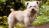 Глен оф Имаал терьер описание породы, фото, характеристика, клички для собак, цена щенков, гипоаллергенный: нет