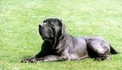 Неаполитанский мастиф описание породы, фото, характеристика, клички для собак, цена щенков, гипоаллергенный: нет