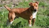 Терьер Пламмера описание породы, фото, характеристика, клички для собак, цена щенков, гипоаллергенный: нет