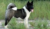 Американская акита описание породы, фото, характеристика, клички для собак, цена щенков, гипоаллергенный: нет