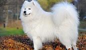 Самоедская собака описание породы, фото, характеристика, клички для собак, цена щенков, гипоаллергенный: да