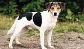 Датско-шведская фермерская собака описание породы, фото, характеристика, клички для собак, цена щенков, гипоаллергенный: нет