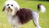 Малая львиная собачка описание породы, фото, характеристика, клички для собак, цена щенков, гипоаллергенный: да