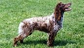 Понт-одемерский спаниель описание породы, фото, характеристика, клички для собак, цена щенков, гипоаллергенный: нет