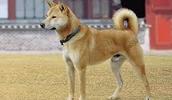 Корейский джиндо описание породы, фото, характеристика, клички для собак, цена щенков, гипоаллергенный: нет