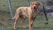 Бульдог Катахулы описание породы, фото, характеристика, клички для собак, цена щенков, гипоаллергенный: нет