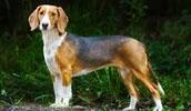 Немецкая гончая описание породы, фото, характеристика, клички для собак, цена щенков, гипоаллергенный: нет