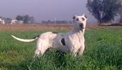 Булли-кутта описание породы, фото, характеристика, клички для собак, цена щенков, гипоаллергенный: нет