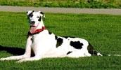 Немецкий дог описание породы, фото, характеристика, клички для собак, цена щенков, гипоаллергенный: нет